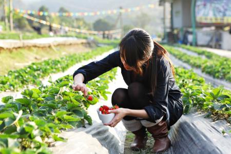 Girl pick strawberry for fun in farm
